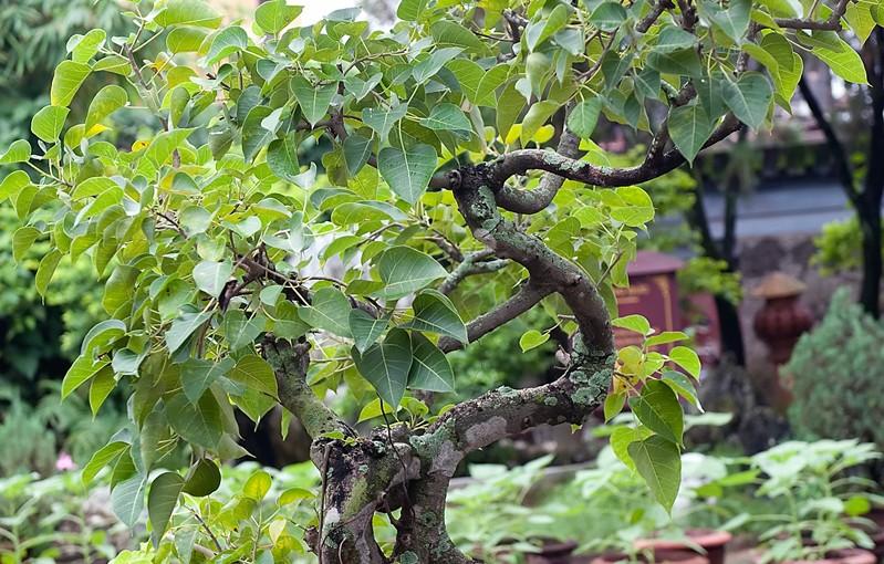 Nawożenie bonsai