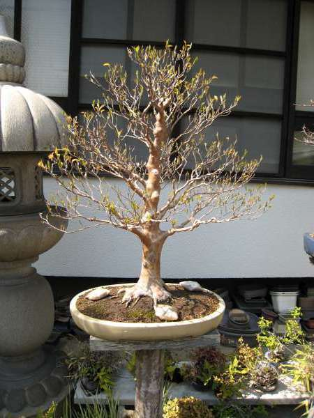 Bonsai in Japan
