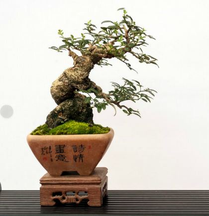 Mini bonsai mame