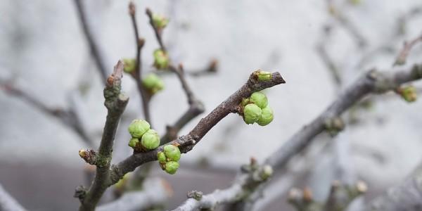 Pąki pigwowca japońskiego bonsai