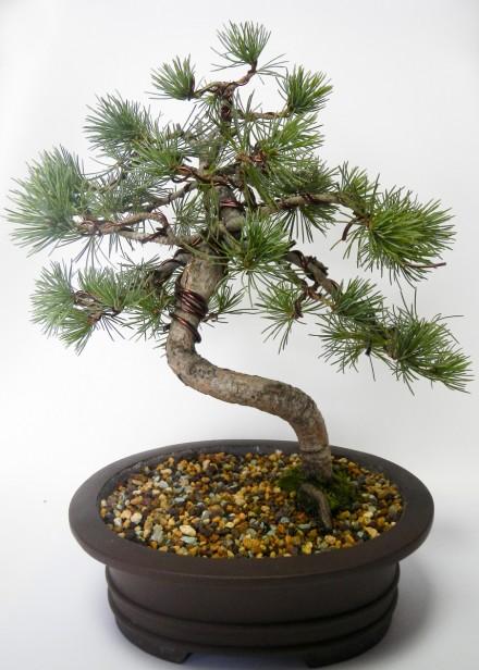 Nowy front bonsai po drutowaniu