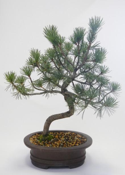 Front drzewka przed drutowaniem