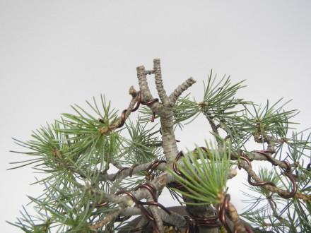Dawny wierzchołek drzewka z jedną żywą gałązką, która będzie miała za zadanie podciągnąć grubość pnia.