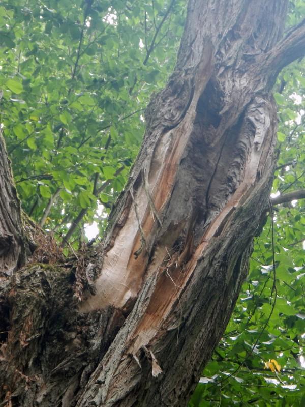 Diura po wyrwanej gałęzi