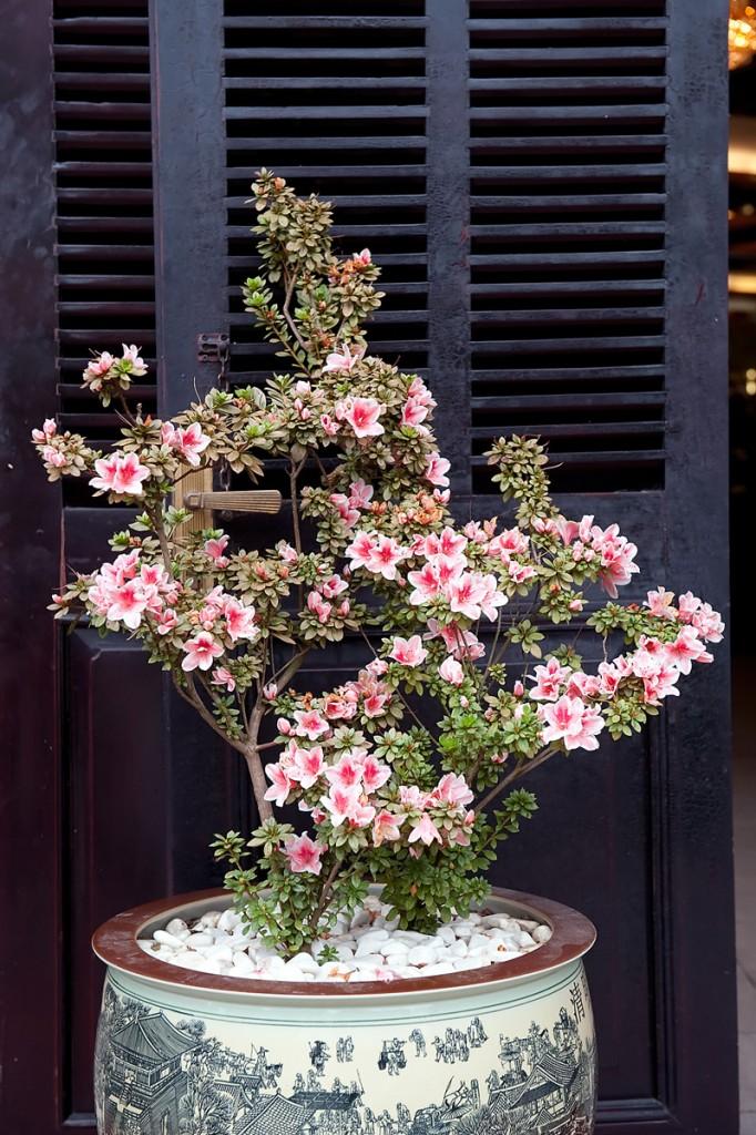 Kwitnące bonsai w pięknej doniczce