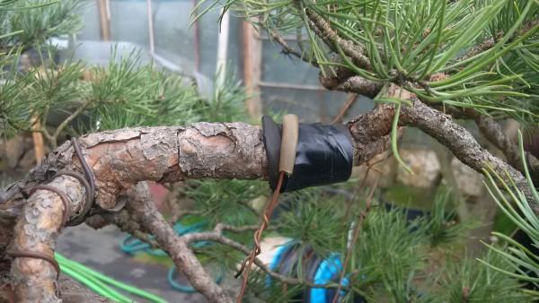 Zabezpieczenie odciągów na gałęzi
