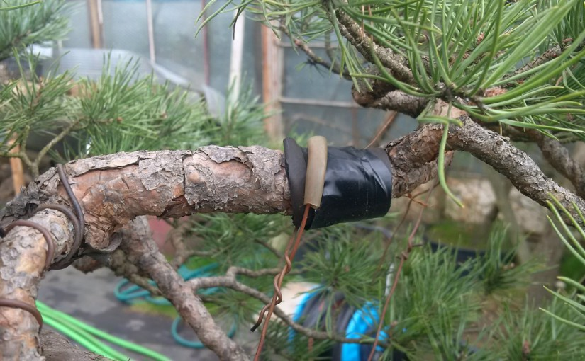 Formowanie bonsai przez zakładanie odciągów