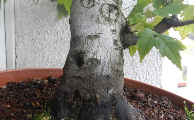 Jak pogrubić pień drzewka bonsai?