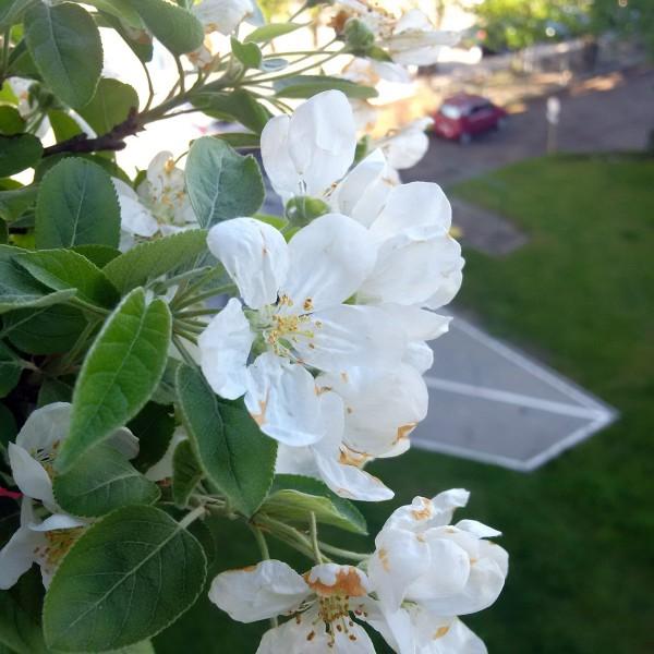 Kwitnące bonsai jabłoń halla
