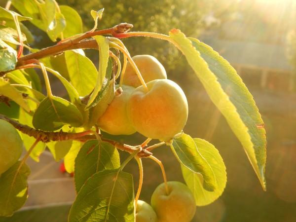 Bonsai jabłoń halla z małymi jabłkami