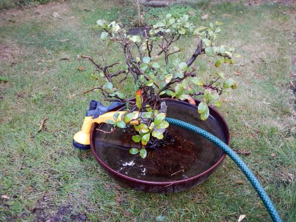 Zestaw ogrodowy do usuwania starej ziemi z drzewek bonsai :-)