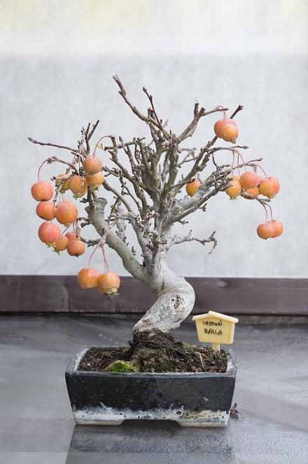 Czerwone owoce na bonsai z jabłoni halla