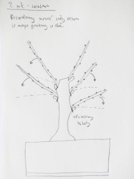Pierwsze bonsai - 2 rok - wiosna