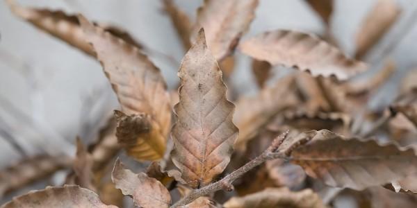 Buk karbowany ubiegłoroczne liście utrzymuje przez całą zimę.