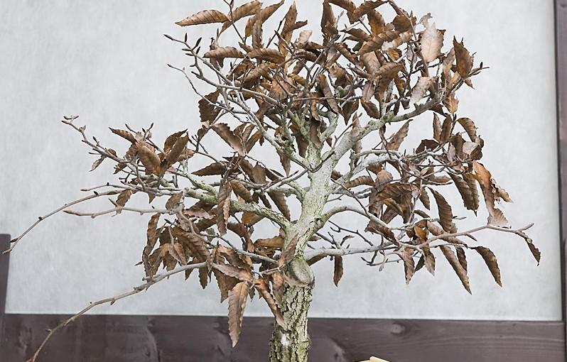Buk karbowany – zdjęcia na koniec 2015