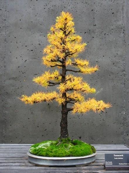 bonsai chokkan styl wyprostowany