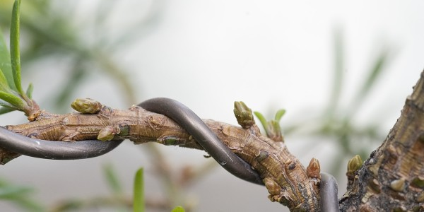 Zimowe pąki na bonsai z cisa pospolitego.