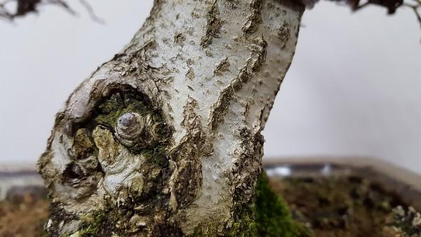 Kora bonsai z grabu koreańskiego.