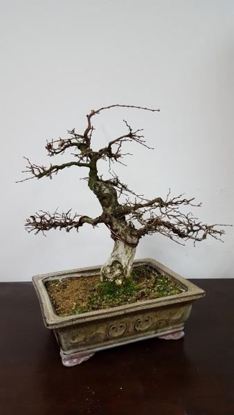 Pre-bonsai Grab koreański