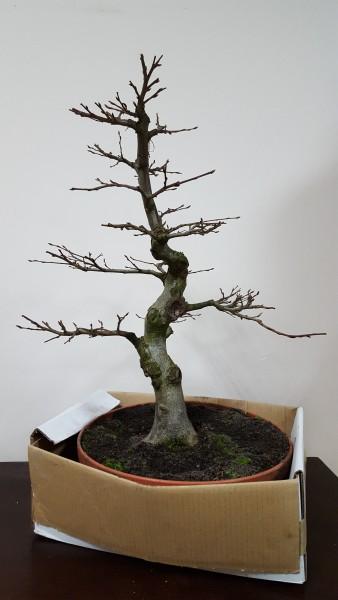Pre-bonsai Grab pospolity