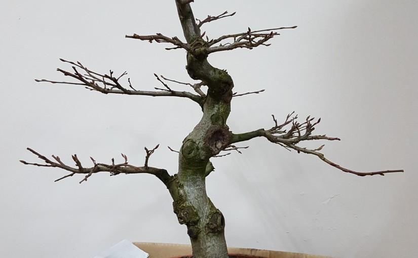 Jak znaleźć i wybrać dobre drzewko na pierwsze bonsai?
