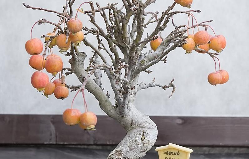 Jabłoń Halliana – zdjęcia na koniec 2015