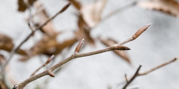 Pąki na bonsai z buka karbowanego.