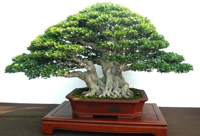 Korona i gałęzie drzewka bonsai