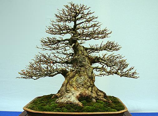 Miki – pień bonsai