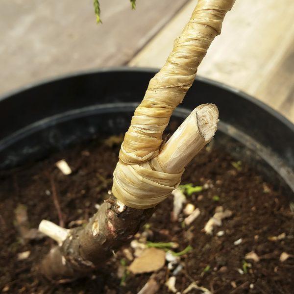 Drzewko bonsai - Mocne wyginanie gięcie gałęzi lub pnia