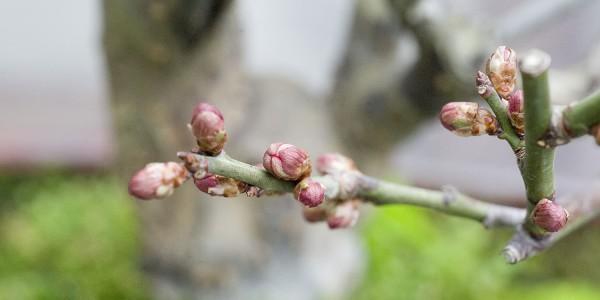 Pąki moreli japońskiej przed kwitnieniem.