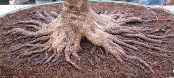 Nebari – korzenie powierzchniowe