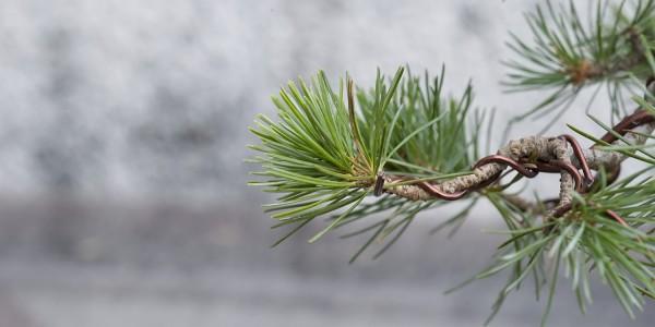 Igły sosny górskiej prowadzonej jako bonsai.