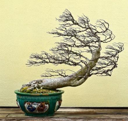 Bonsai z pniem wygiętym pod wiatr.