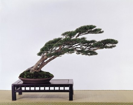 Drzewo od początku swojego życia smagane przez wiatr.