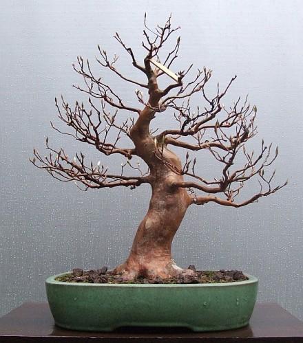 style-bonsai-moyogi-pien-dowolnie-wygiety-3