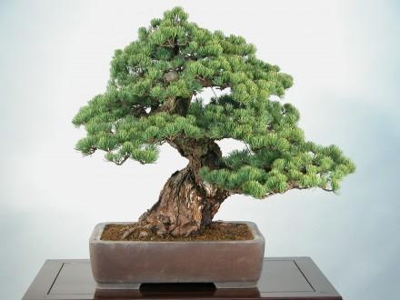style-bonsai-moyogi-pien-dowolnie-wygiety