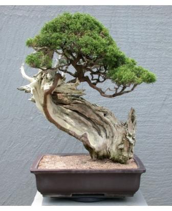 Shiramiki – styl (prawie) martwego drzewa