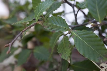 bonsai-gubi-liscie-zolkna-liscie