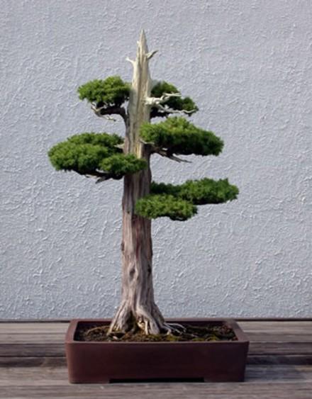 Jin na wierzchołku drzewka bonsai