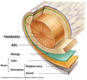Przekrój drzewa z zaznaczonym łykiem, miazgą i drewnem.