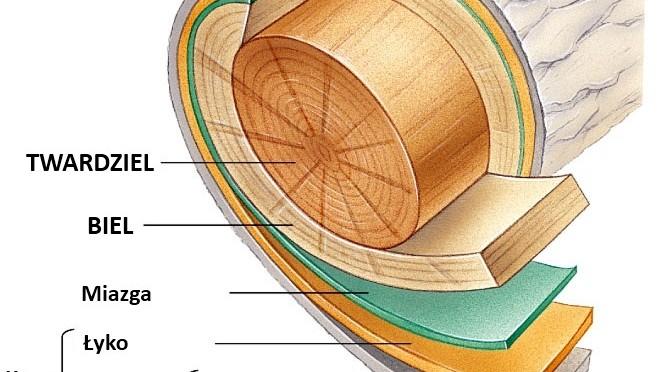 Podstawowe pojęcia z anatomii i fizjologii drzew dla bonsaistów
