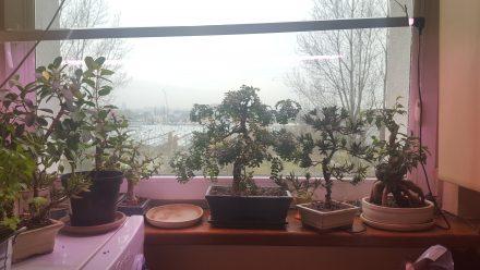 Moje okno w kuchni z drzewkami doświetlanymi świetlówką akwarystyczną Grolux