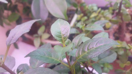 Młode przyrosty na sadzonce fuksji