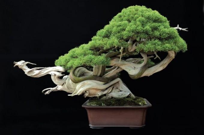 """Bonsai """"Smok w locie"""" - Masahiko Kimura"""