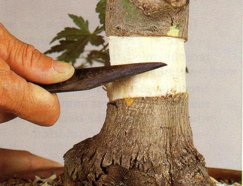 Odkłady powietrzne – do pobrania nowego materiału i poprawy nebari