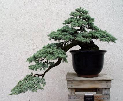 Kengai – style kaskadowe w bonsai
