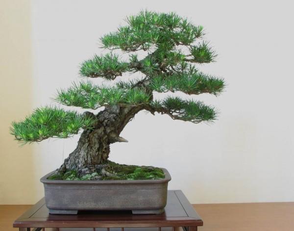 styl bonsai shakan