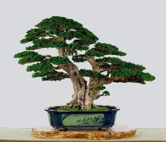styl-bonsai-sokan-podwojny-pien-2