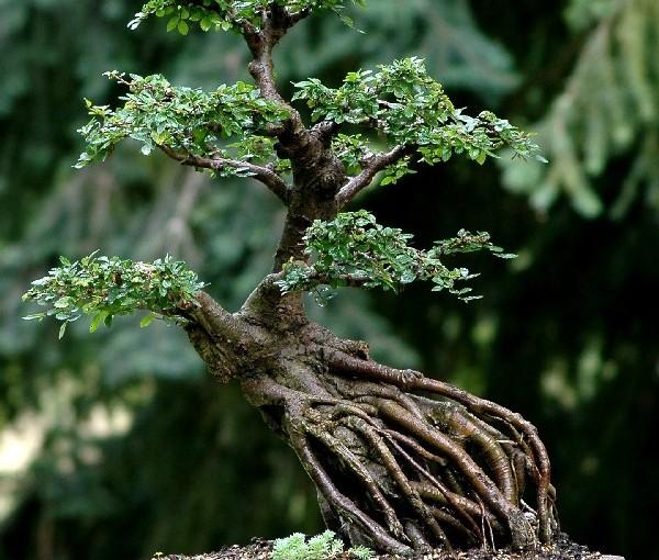Styl Ne-agari – drzewo stojące na korzeniach